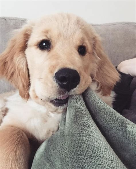 www golden retriever puppies best 25 retriever puppies ideas on baby