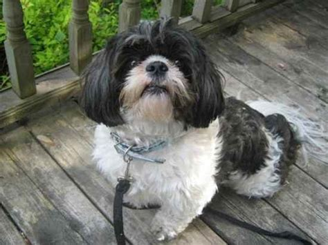 shih tzu hound mix marko the shih tzu mix designer photo gallery 7931