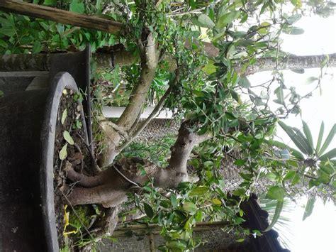 jual cv uri florist tanaman hias bonsai serut serit
