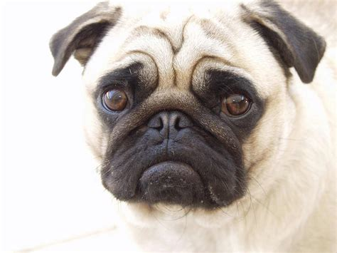 pugs bred for pug breed 187 information pictures more