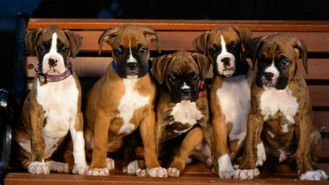 free boxer puppies boxer puppy desktop background 3 free hd wallpaper dogbreedswallpapers