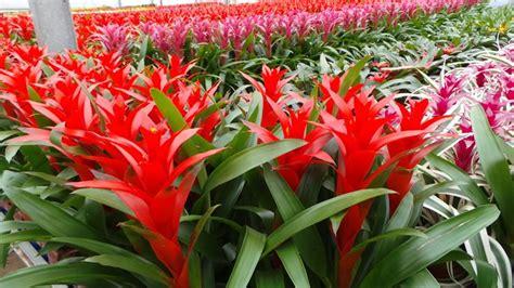 pianta grassa con fiore rosso bromelia piante appartamento come coltivare la bromelia
