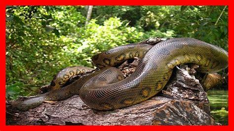 imagenes de serpientes oscuras serpientes gigantes las serpientes m 225 s grandes del