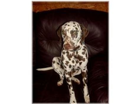 dalmatian puppies for sale in va dalmatian puppies for sale