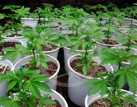 cannabis coltivazione in vaso coltivazione di autofiorenti outdoor philosopher seeds