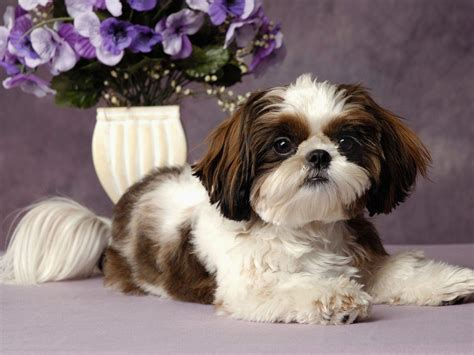 shih tzu puppies for free shih tzu wallpapers wallpaper cave