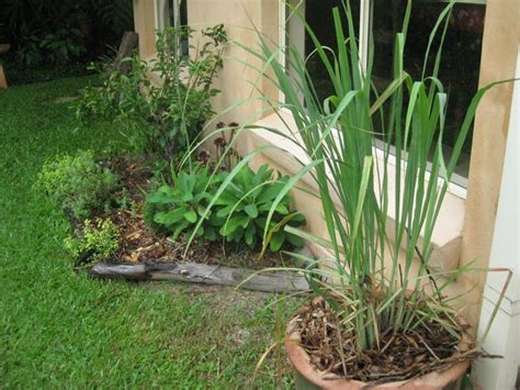 Lemon Grass In Planters by Grow Food Food Lemon Grass Top Plants