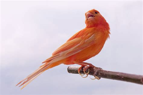 how did cardinals get those bright red feathers the
