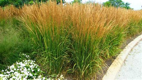 Garden Grasses by Touch Stay Informed Selecting Grass For Your