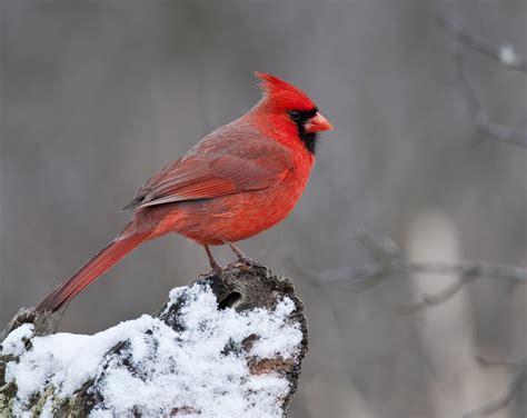 jen st louis canada northern cardinal celebrate urban
