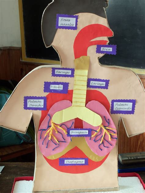 como hacer una maqueta del sistema respiratorio como hacer una maqueta del sistema respiratorio