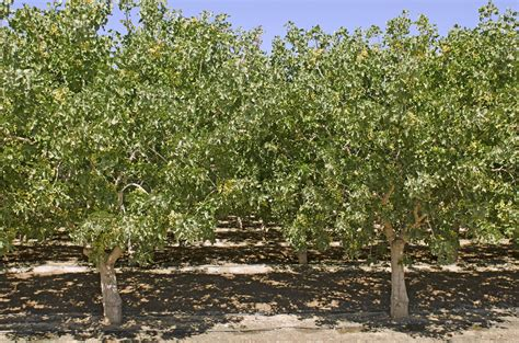 pista tree images helpful pistachio pruning tips how and when to prune