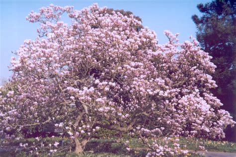 how to propagate magnolia trees