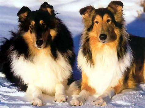 lassie puppies two lassie collies dogs wallpaper