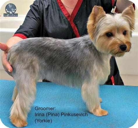 how to do a puppy cut on a yorkie best 25 silky terrier ideas on terrier haircut yorkie cuts and