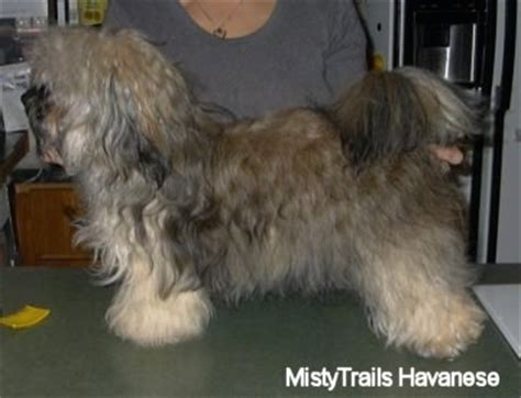havanese silk puppy care center bichon havanais havanese puppy care center and the breeds picture