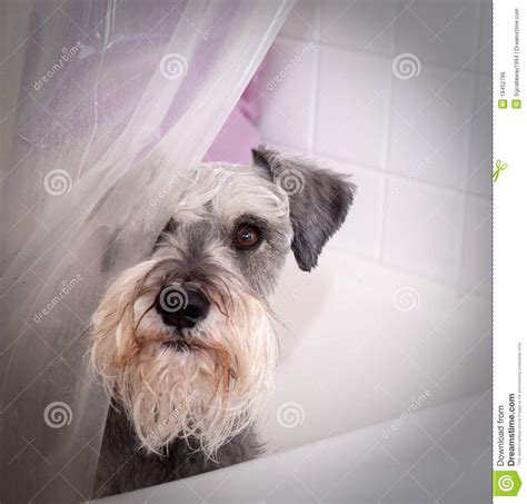 dog in a bathtub video small gray dog in bath tub stock photo image of inside 18452786