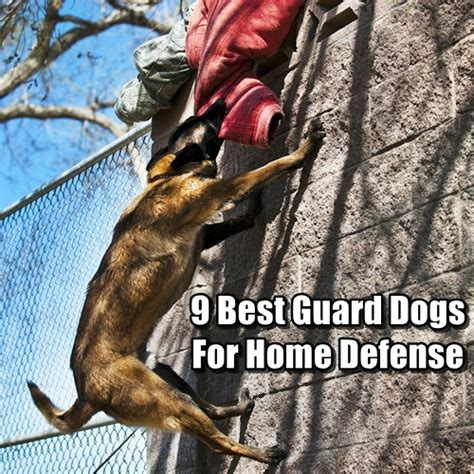 best dog to guard house what breed of dog makes the best survival dog page 2