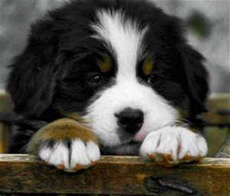 bernese mountain puppies cost bernese mountain price