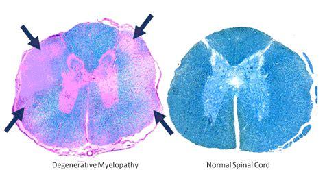 dm in dogs degenerative myelopathy dm pandora kennels