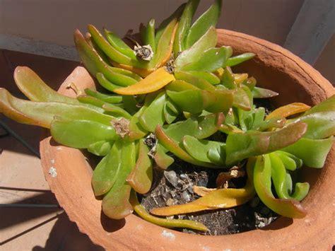 cual es la planta de washington indignado con las plantas suculentas me han decepcionado