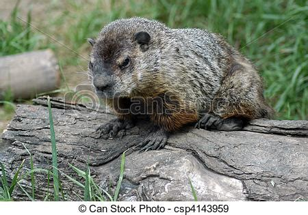 groundhog day italiano stock photographs of groundhogs day a small groundhog