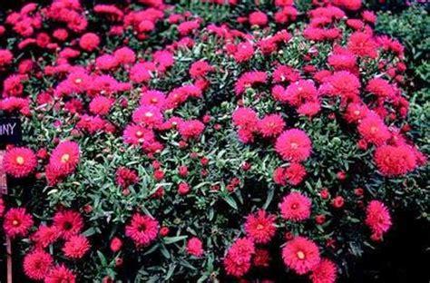 fiori per aiuole pieno sole piante perenni che fioriscono in autunno e inverno paperblog