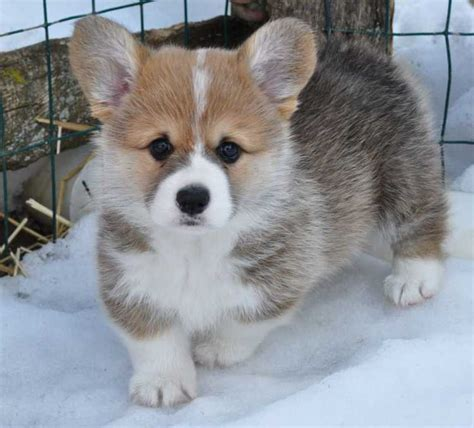 corgi puppies ohio best 25 pembroke corgi puppies ideas on pembroke corgi