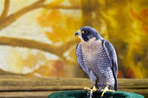 sky hunters birds of prey news san diego county news