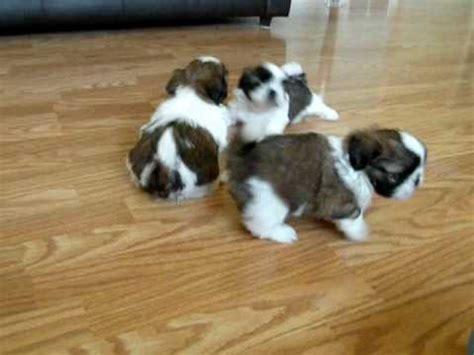 2 week shih tzu puppies shih tzu puppies 5 1 2 weeks 2 may 15 2009