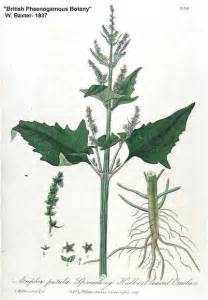 Flowers Plants Online - online virtual flora of wisconsin atriplex patula