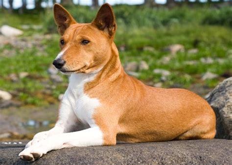 basenji puppy did you basenji