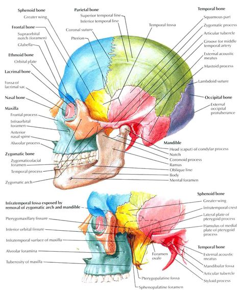 midsagittal section of the skull human skull lateral view of right pictures to pin on