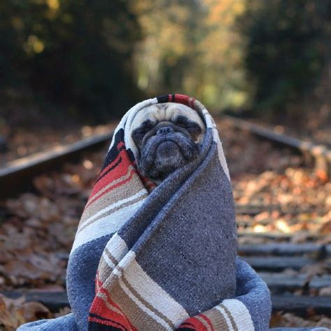 pugs in blankets pug burrito pugs kisses blankets and trains