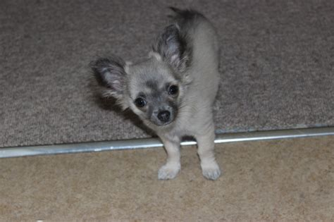 free teacup chihuahua puppies in nc chihuahua breeders carolina breeds picture