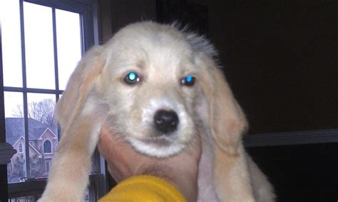 lab mix puppies for adoption terrier mix puppies available for adoption now breeds picture