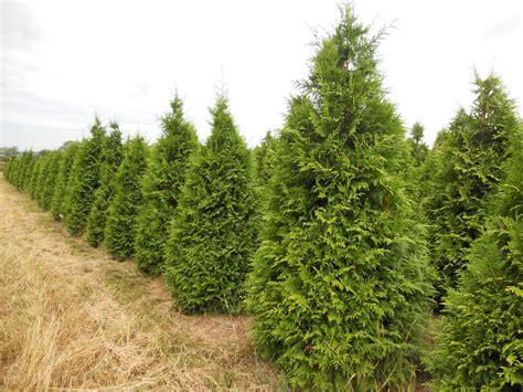Wholesale Trees - wholesale balled burlap cut trees arrowhead nursery