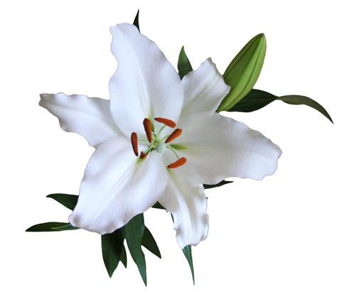 White Lilies lilys enterprises 187 lilies