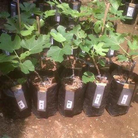 Bibit Buah Tin Dan Zaitun cara merawat pohon tin agar cepat berbuah bibitbunga