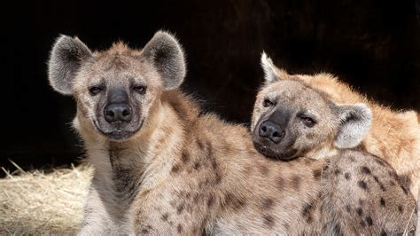 images of hyenas spotted hyenas are smart social and ruled by females