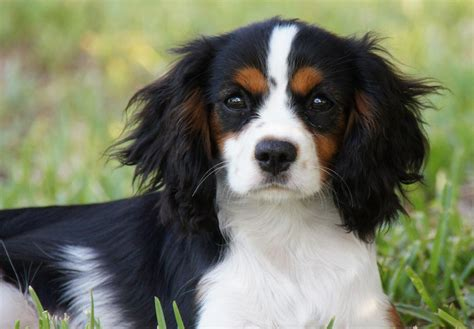 king charles cavalier puppies cavalier king charles spaniel puppies for sale akc puppyfinder