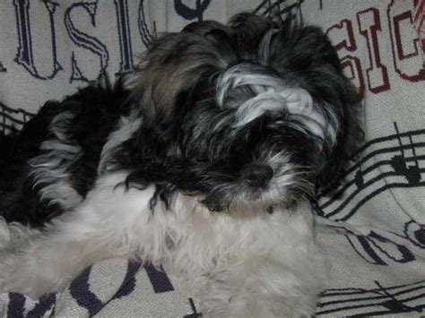 epupz shih tzu shih tzu dogs for sale in scotland