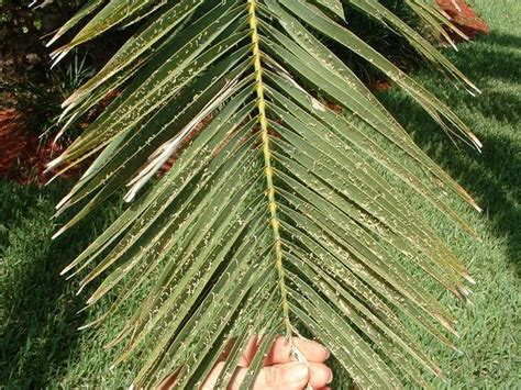 White Spots On Plants Disease - gallery palm symptoms