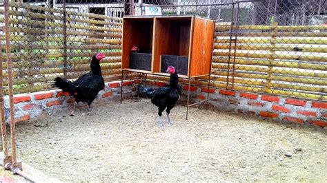 kandang ayam bangkok sehat ayam bangkok asli