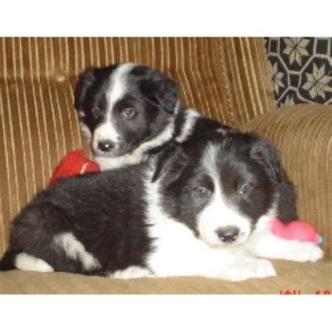border collie puppies southern california border collie breeders in california freedoglistings breeds picture