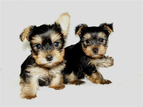 yorkie p the gallery for gt baby yorkies boys
