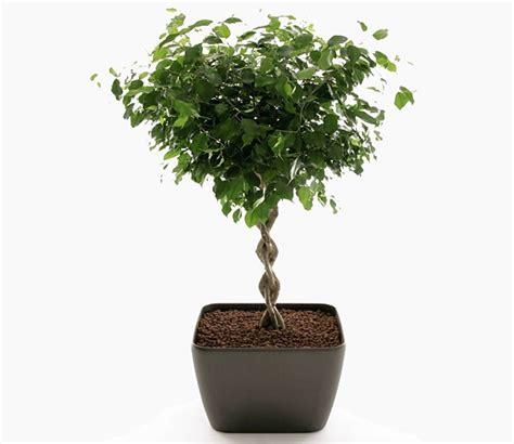 indoor plants for sale indoor ficus plants for sale online uk