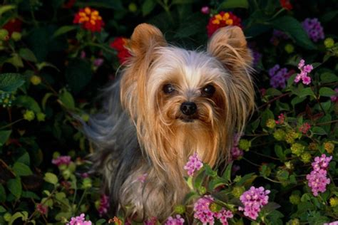 yorkies breed how to breed yorkies dogs
