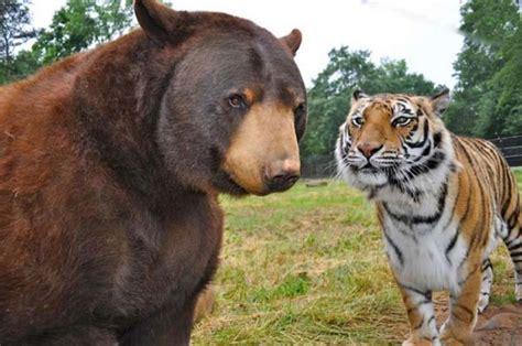 lions and tigers and nurses a nursing novella about lateral violence nursing novellas volume 1 books el inseparable v 237 nculo entre un un le 243 n y un tigre