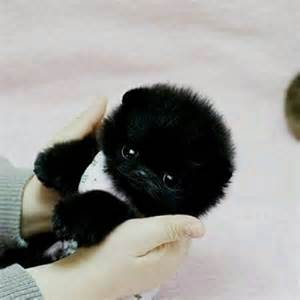 black teacup pomeranian puppies teacup pomeranian puppies puppys teacup pomeranian and babies
